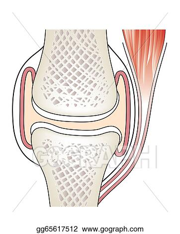 Vector Clipart Synovial Joint Vector Illustration Gg65617512