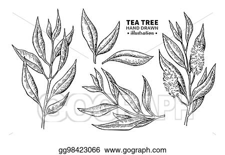 Vector clipart tea tree vector drawing isolated vintage tea tree vector drawing isolated vintage illustration of medical plant leaves on branch altavistaventures Gallery