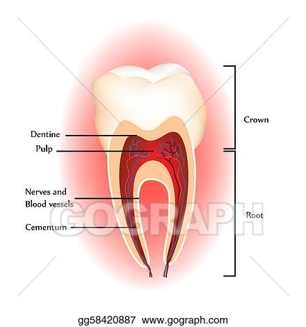 Vector Art Teeth Anatomy Clipart Drawing Gg58420887 Gograph