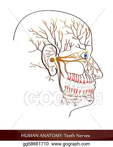 Vector Illustration Teeth Nerves Eps Clipart Gg58661710 Gograph