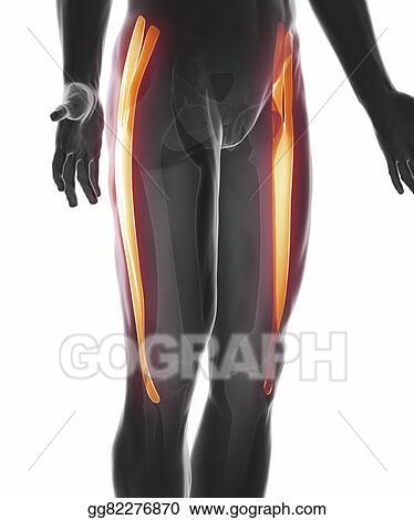 Stock Illustrations - Tensor fasciae latae - muscle anatomy isolated ...