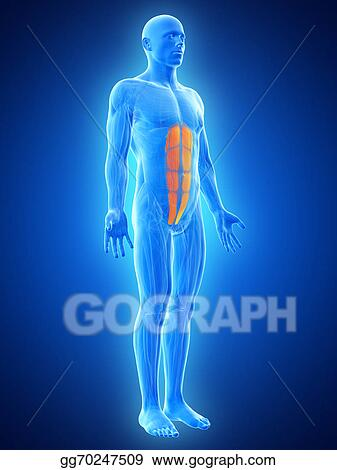 Stock Illustration The Abs Muscles Clip Art Gg70247509 Gograph