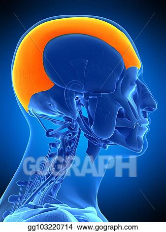 Stock Illustration - The frontalis. Clip Art gg103220714 - GoGraph