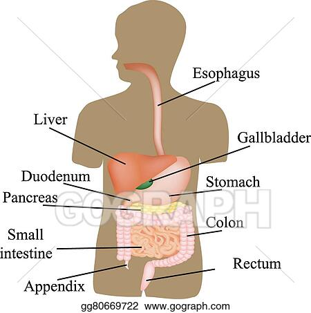 Vector Art The Structure Of The Gastrointestinal Tract Human