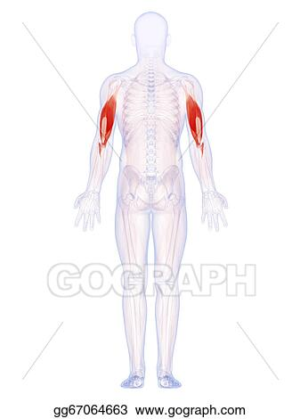 Stock Illustrations - The upper arm muscles. Stock Clipart ...