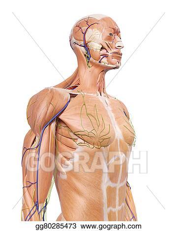 Stock Illustration The Upper Body Anatomy Stock Art Illustrations