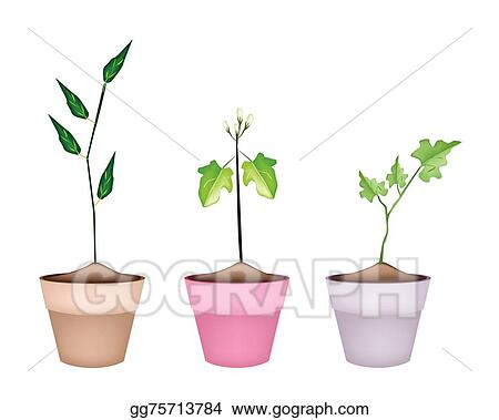 Vector Stock Three Green Eggplant Tree In Ceramic Pots Clipart