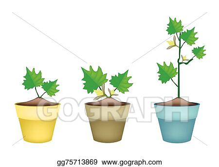 Vector Stock Three Green Eggplant Tree In Clay Pots Clipart