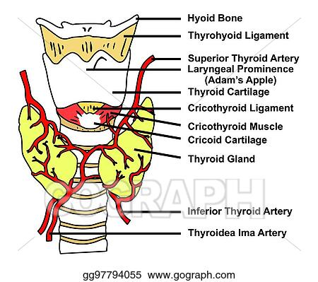 Stock Illustration Thyroid Gland Anatomical Structure And Arteries