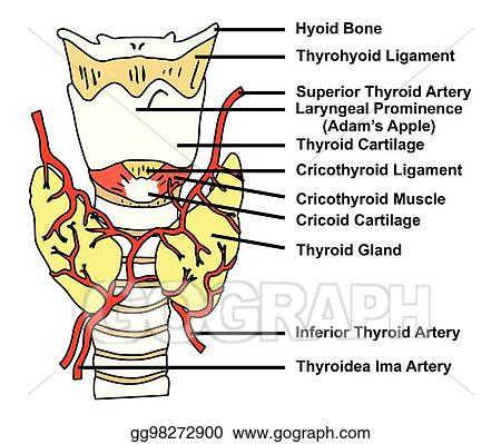 Eps Illustration Thyroid Gland Anatomical Structure And Arteries