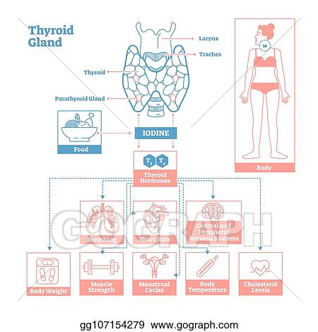 Vector Illustration Thyroid Gland Of Endocrine System Medical
