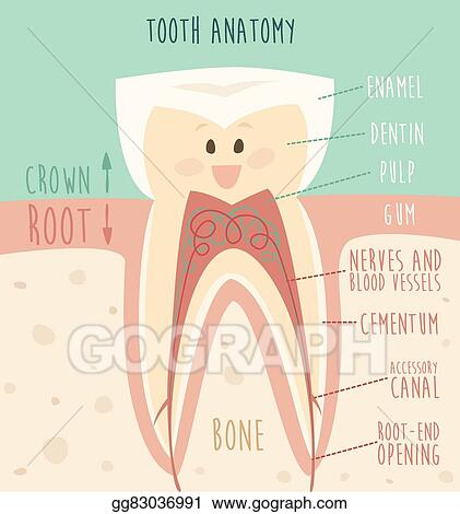 EPS Vector - Tooth anatomy funny tooth concept of healthy teeth ...