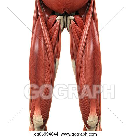 Drawings Upper Legs Muscles Anatomy Stock Illustration Gg65994644
