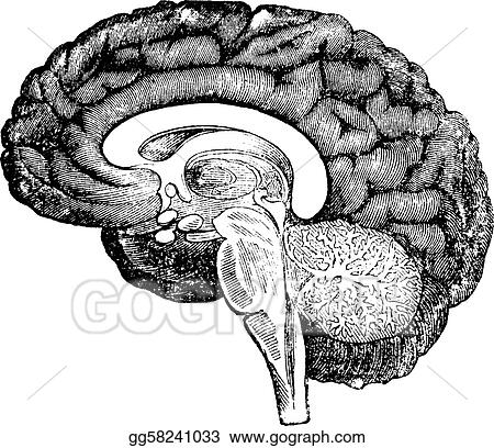 Vector stock vertical section of side view of a human brain vertical section of side view of a human brain vintage engraving ccuart Image collections