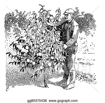 Stock illustration vintage illustration man take care of a young vintage illustration man take care of a young peach tree in the orchard altavistaventures Images