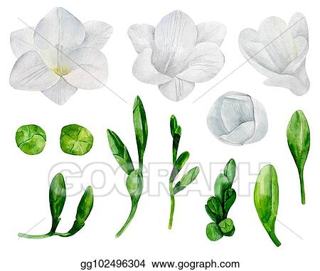 Vector illustration white freesia flowers vector clipart white freesia flowers vector clipart watercolor wedding floral mightylinksfo