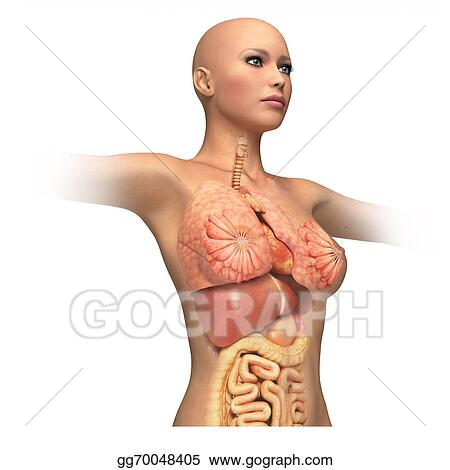 Drawings Woman Body Trunk With Interior Organs Superimposed
