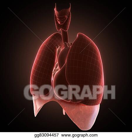 Clipart - Xray diaphragm organ  Stock Illustration