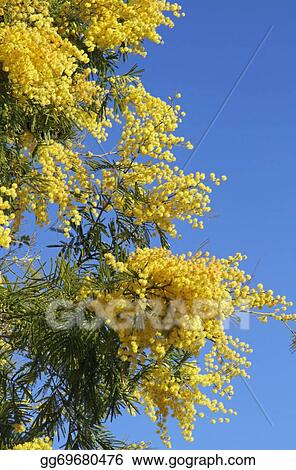 Stock Image Yellow Fragrant Mimosa Flower Stock Photo Gg69680476